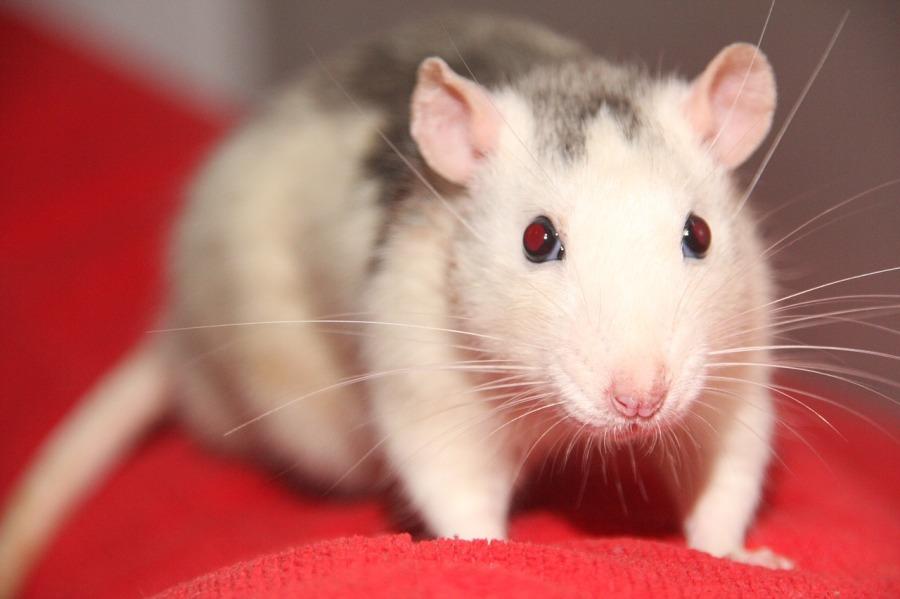 rat-2731600_1280